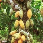 Какао-бобы - исходное сырья для производства шоколада